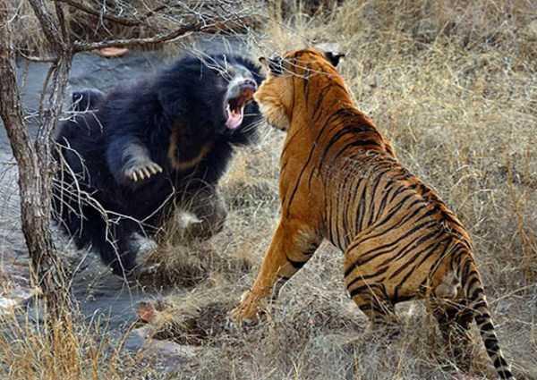 Animal-Battles-18_R