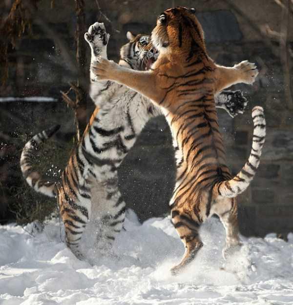 Animal-Battles-4_R