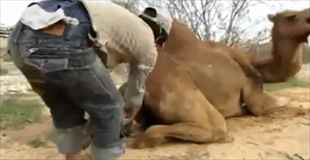 【動画】ラクダの出産シーンがちょっとグロい