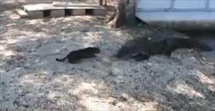 【動画】猫VSワニ 勝つのはもちろん?