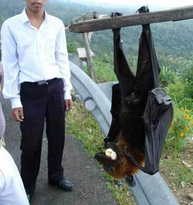 giant-bat_R