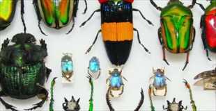 【動画】世界のカブトムシ集めてみました