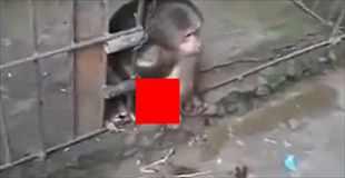 【動画】このオス猿、堂々とオナニーしてやがる