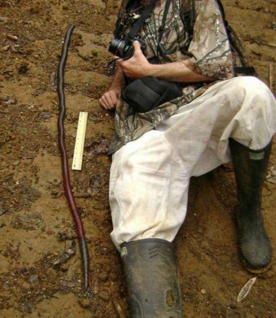 Giant-Gippsland-earthworm-550x634_R
