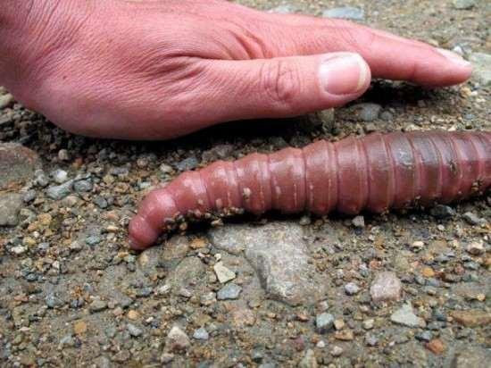 Giant-Gippsland-earthworm2-550x412_R
