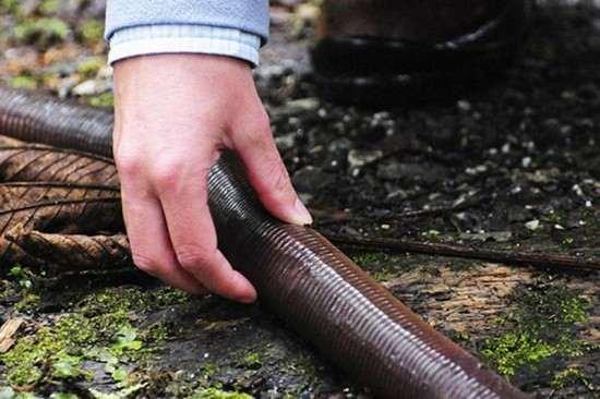 Giant-Gippsland-earthworm4-550x366_R