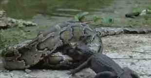 【動画】ゆっくりと大蛇がクロコダイルを飲み込んでいく