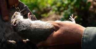 【グロ】ベトナム人のおやつはネズミです