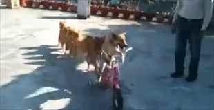 【萌え注意】可愛い犬達の電車ごっこ