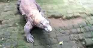 【動画】コモドドラゴンが獲物を捕食する瞬間