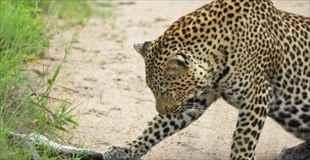 【画像】豹のヘビの食べ方がちょっと面白い