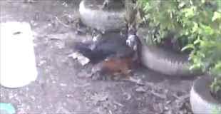 【動画】アヒルと雄鶏の喧嘩激しすぎコワイ