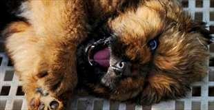 【画像】世界一高価な犬が落札される。値段は…