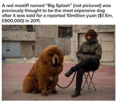 worlds_most_expensive_dog_04