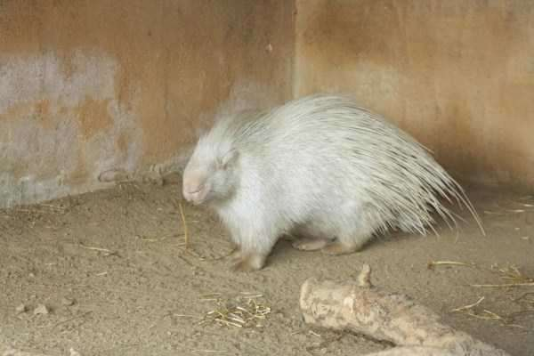 albino-animals-16