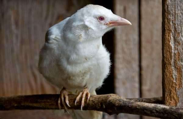 albino-animals-27