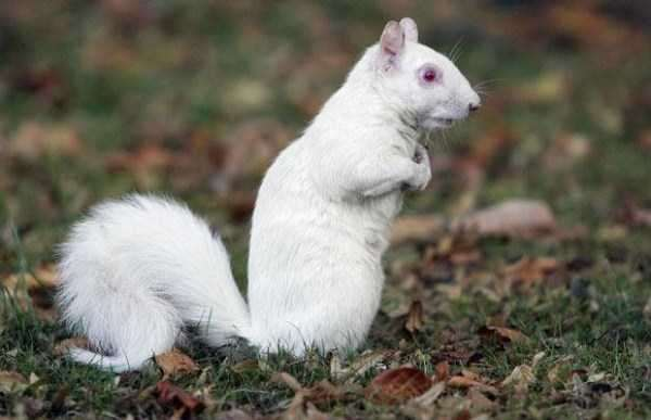 albino-animals-6