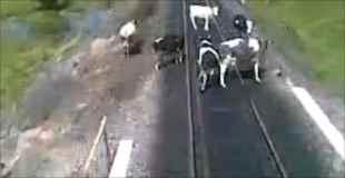 【動画】線路上の牛を轢いて走っていく電車