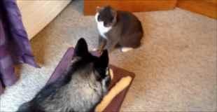 【動画】猫VSハスキー犬
