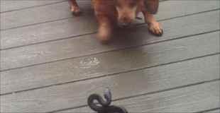 【画像】犬とヘビが喧嘩したら大変なことに