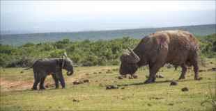 【画像】赤ちゃん象とバッファローが一緒に遊んだ結果