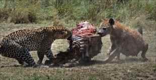 【画像】豹とハイエナがシマウマを奪い合う