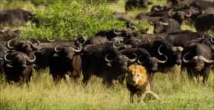 【画像】オスライオンが水牛の群れに迷い込んだ結果