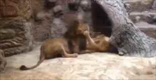 【動画】動物園内でオスライオンがメスライオンを噛み殺す
