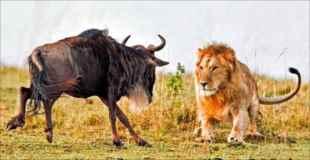 【狩り画像】ヌーを狩るライオン