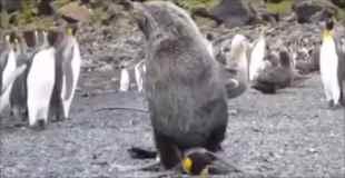 【動画】ペンギンがアザラシにバックで犯されている動画が撮影される