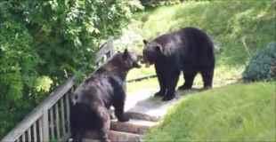 【動画】住宅街で熊同士の戦いが始まる