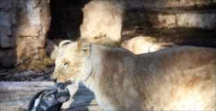 【画像】バルセロナの動物園で男がライオンの檻に飛び込んだ結果