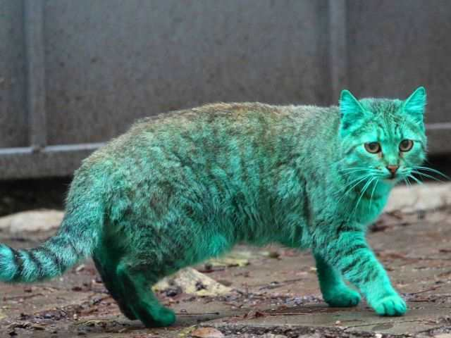 bulgaria_is_home_to_the_first_green_cat_in_history_0bzln_640_11