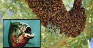 【超!閲覧注意】アフリカミツバチに襲われ川に飛び込んだ男性、ピラニアに食われる