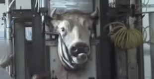 【閲覧注意】肉牛の加工現場がかなりエグい件。