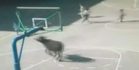 【動画】巨大な水牛が中国の学校内を走り回る