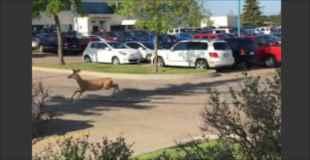 【動画】鹿が猛ダッシュして道路を横断!もちろん車に轢かれる