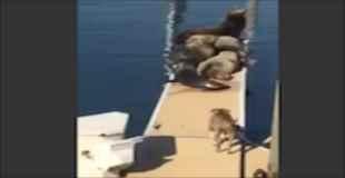 【衝撃映像】アザラシの集団に襲いかかり無双するピットブル