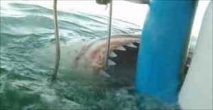 サメ避けの檻にしつこく食らい付いてくるホオジロザメが怖い