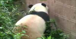 パンダが脱走しようとしてるwww【動画1本・画像9枚】