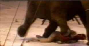 【閲覧注意】ブチ切れた象はトレーナーを踏み殺し100発の銃弾を浴び殺される