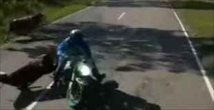 動物の飛び出し注意!バイクが道路に飛び出してきた牛を撥ね更に対向車に激突する