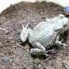 ヒキガエル「うまそうな虫だな。食ってやるか」→10分後、恐ろしい結果に・・・(※動画)
