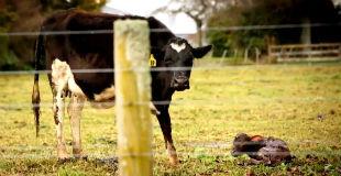 【閲覧注意】ニュージーランドの知られざる酪農業界の闇が笑えないくらいダークサイドすぎる…