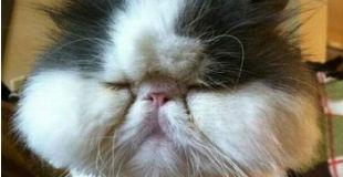 【画像】ハチに刺された猫がとんでもない事になってる