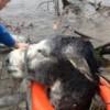 【画像】川に流されてるロバがいる! ⇒ 救出したらめっちゃ笑顔で話題に!!
