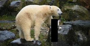 【閲覧注意】白熊が猫を殺して、死体をおもちゃ代わりに使って遊んでいる動画…