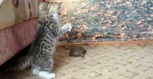 猫VS亀、ねこのこうげき