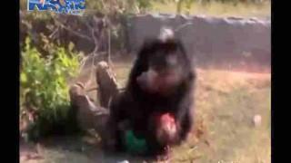【閲覧注意】熊に襲われ横たわった男性がクマに顔面を食いちぎられてる…。