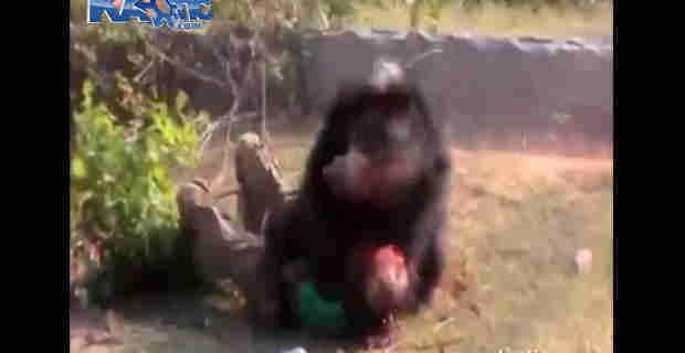 【閲覧注意】熊に襲われ横たわった男性がクマに顔を食いちぎられてる…。